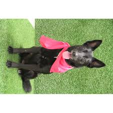 belgian shepherd rescue qld milly large female border collie x belgian shepherd groenendael