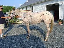 Are Horses Color Blind Leopard Complex Wikipedia