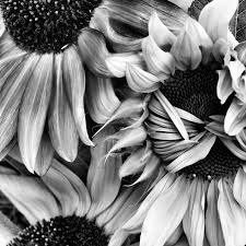 download sunflower drawing black and white alicia painting ideas download sunflower drawing black and white