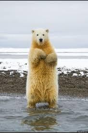 Dancing Bear Meme - i like bears waving album on imgur