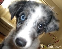 australian shepherd dog names australian shepherd dog pictures blue merle ishottoto com