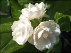 Best Fragrant Indoor Plants - the best scented indoor plants jasmine and foyers
