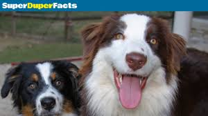movies with australian shepherds in them australian shepherd dog facts breed information health and