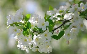 white cherry blossom white cherry blossoms wallpaper flower wallpapers 36554