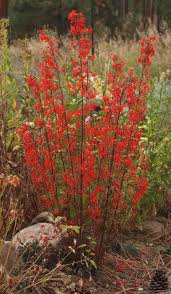 native plants for clay soil scarlet gilia ipomopsis aggregata blackfoot native plants