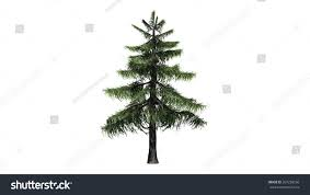 alaska cedar tree isolated on white stock illustration 267238556
