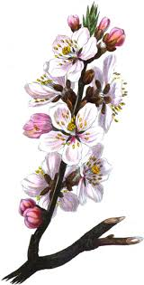List Of Flowers by Almond Blossom The Language Of Flowers