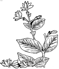 jasmine flower coloring pages coloring