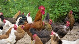 hen or rooster do you want to know your meat u0027s gender the