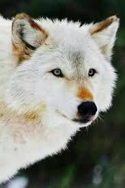 imagenes sorprendentes de lobos white wolf lobos pinterest lobos arte de lobos y imagenes