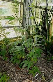 cannabis im garten hanf