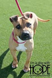 boxer dog female top 25 best pitbull boxer ideas on pinterest pitbull boxer mix