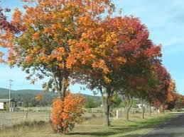 pistachio trees in autumn
