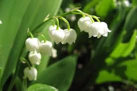 Muguet  plante porte bonheur ou plante toxique