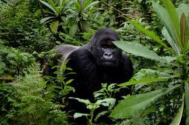 mountain gorillas archives dian fossey