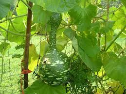goose gourds hollyhedge swan or goose gourds hollyhedgeestatehollyhedgeestate