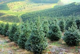 nc christmas tree farms open this weekend u2013 asheville nc mountain
