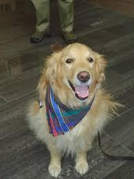 Comfort Golden Retriever Breeders Comfort Dogs Deployed To Orlando To Help Shooting Survivors