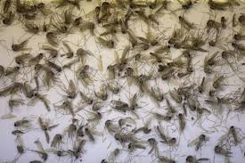 Small Mosquitoes In Bathroom Mosquitoes Are Emerging In The Millions Following Heavy Rain In