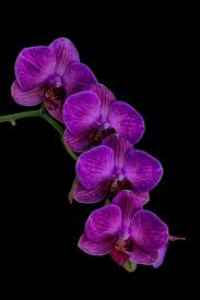 purple orchids purple orchid orchid flowers and plants