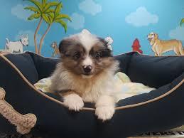 australian shepherd 8 weeks weight in store puppies puppy plus