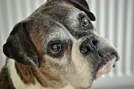boxer boxer dog free pictures on pixabay