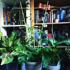 built a bamboo trellis for my monstera adansonii today the