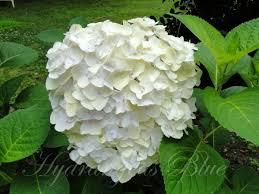 White Hydrangeas Watching This White Hydrangea Flower Turn Green Hydrangeas Blue
