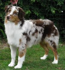 australian shepherd colors akc asca kinetic australian shepherds puppies for conformation