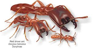 ants of southern africa ant catalog