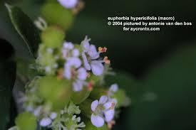 Base2 Jpg Euphorbiaceae S L Of The Neotropics And Subtropics Malpighiales