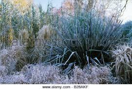 rhs wisley surrey ornamental grasses pass grass cortaderia