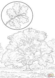 White Oak Tree Drawing Northern Red Oak Coloring Page Free Printable Coloring Pages
