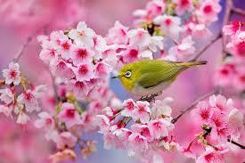 Peinture Cerisier Japonais by De Magnifiques Cerisiers En Fleurs Au Japon