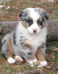5 month old mini australian shepherd faithwalk aussies eyes pigment markings