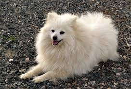 american eskimo dog price in kolkata volpino italiano puppies rescue pictures information