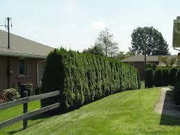 Backyard Privacy Trees 65 Best Backyard Privacy Images On Pinterest Backyard Privacy