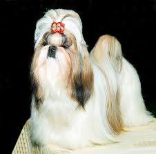 haircuts for shih tzus males shih tzu face grooming with style