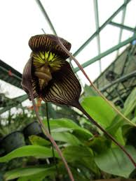 Monkey Orchid Orchid