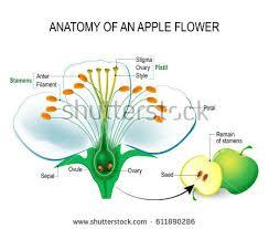 Style Flower Part - anatomy apple flower flower parts detailed stock vector 611890286
