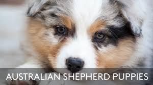 australian shepherd breeders australian shepherd puppies youtube