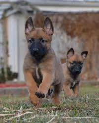 belgian shepherd or malinois belgian malinois info temperment care puppies pictures training