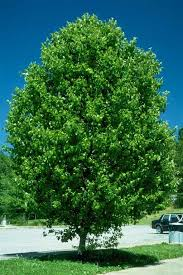 chicago illinois landscaping buy aristocrat ornamental pear