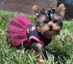 haircuts for yorkie dogs females yorkie heat yorkshire terrier information center