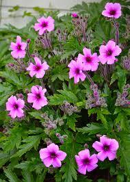 Geranium by Geranium Palmatum Versus Geranium Maderense U2013 The Frustrated Gardener