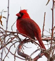Colorado birds images Joe prentice iconic christmas card bird rare in boulder boulder jpg