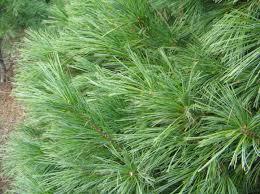 scotch pine christmas tree tree varieties from fraser fir to scotch pine