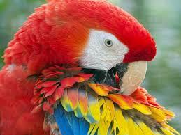 beautiful birds wallpapers beautiful scarlet macaw birds hd
