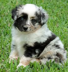 australian shepherd miniature mini aussies