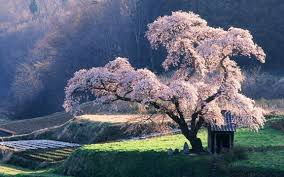 8 hours the cherry blossom tree calming meditation